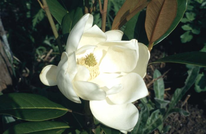evergreen magnolia 'Exmouth'