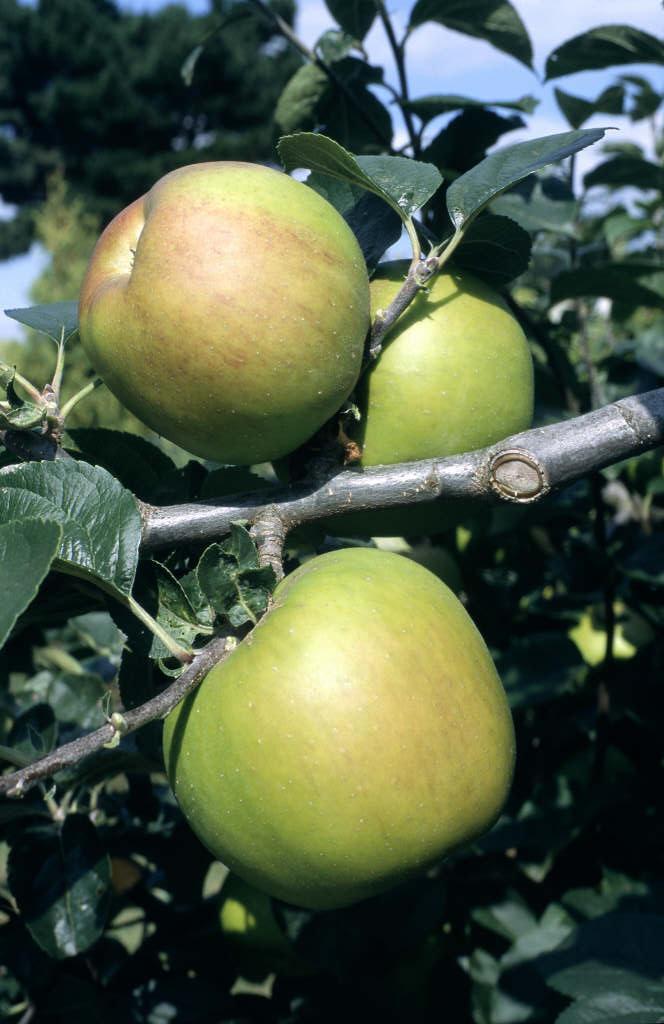 apple 'Blenheim Orange'