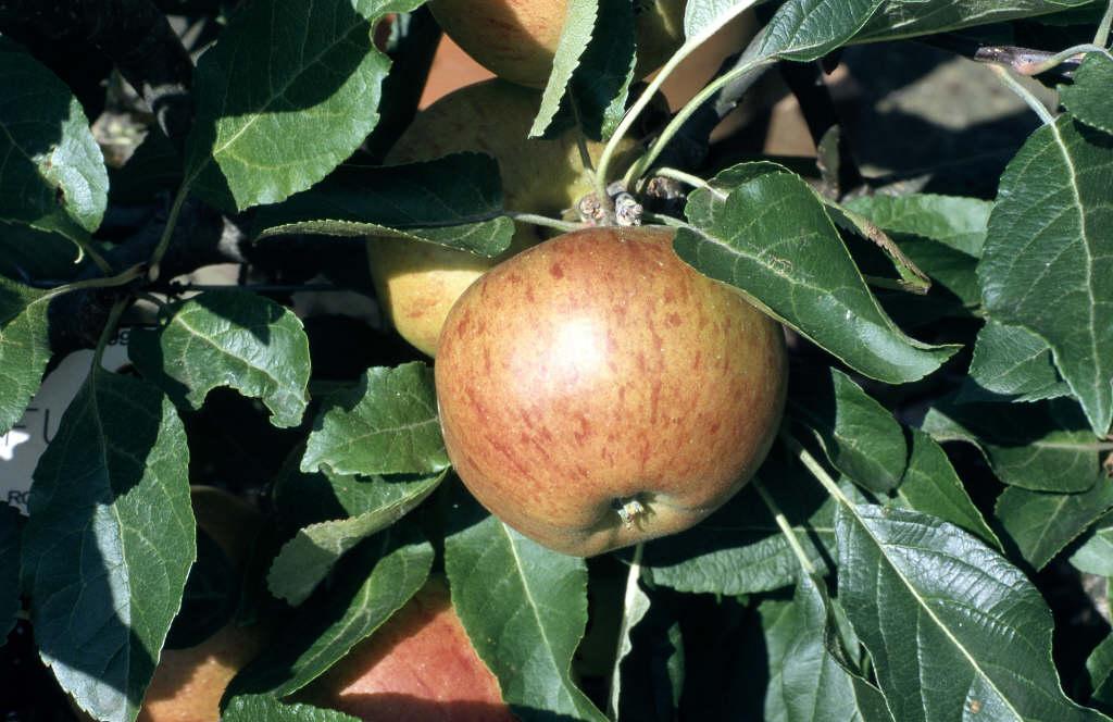 apple 'Fiesta'