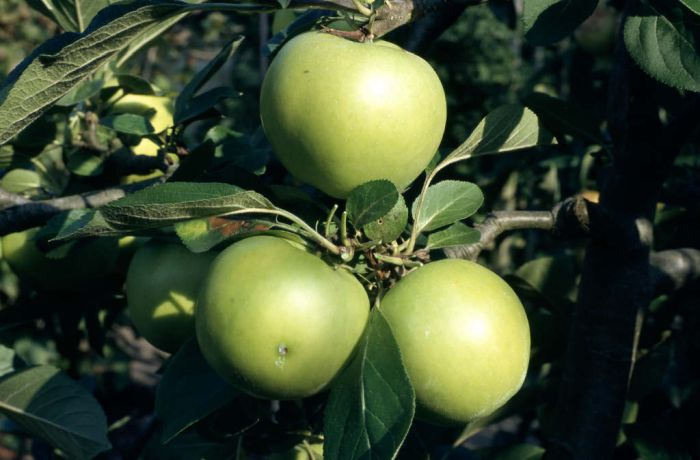 apple 'Golden Noble'