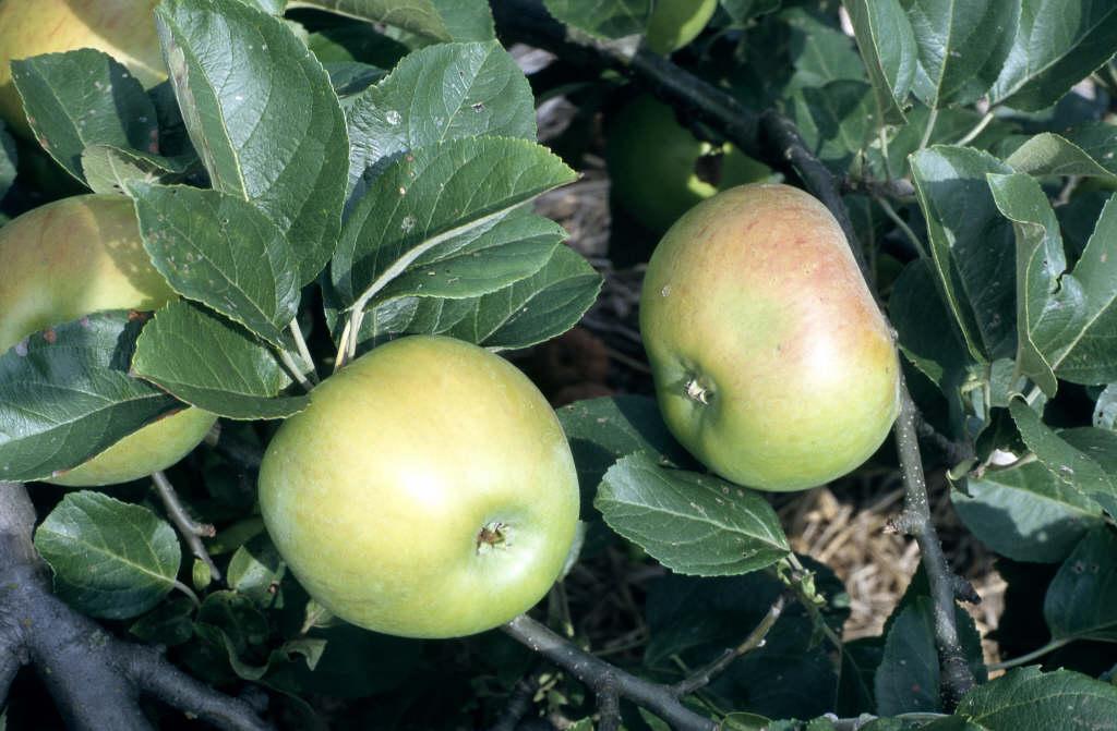 apple 'Lane's Prince Albert'