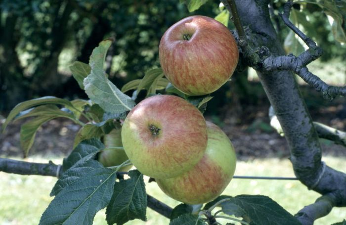 apple 'Laxton's Fortune'