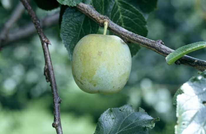 plum 'Oullins Gage'