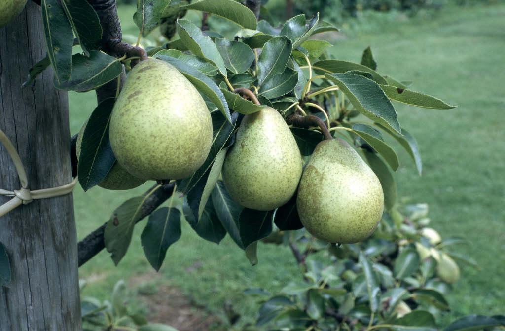 pear 'Beth'