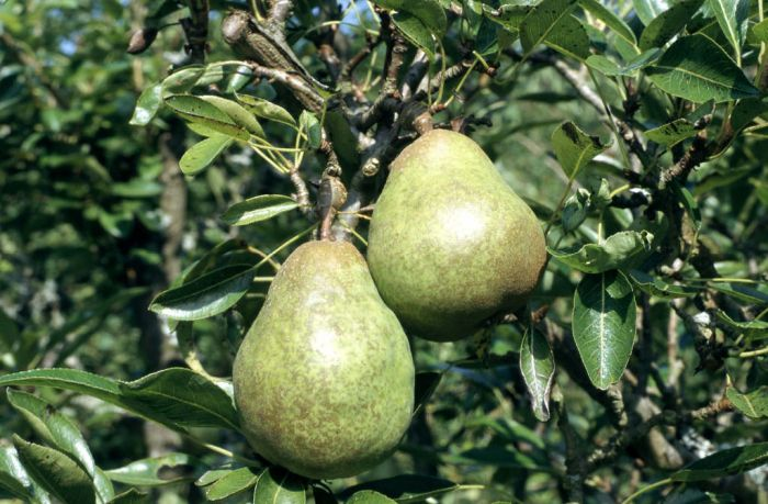 pear 'Williams' Bon Chr&#233
