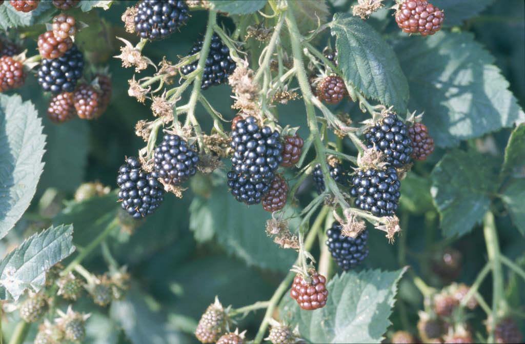 blackberry 'Loch Ness'