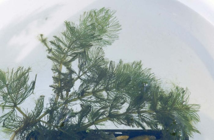 spiked water milfoil