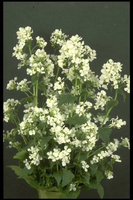 white-flowered honesty
