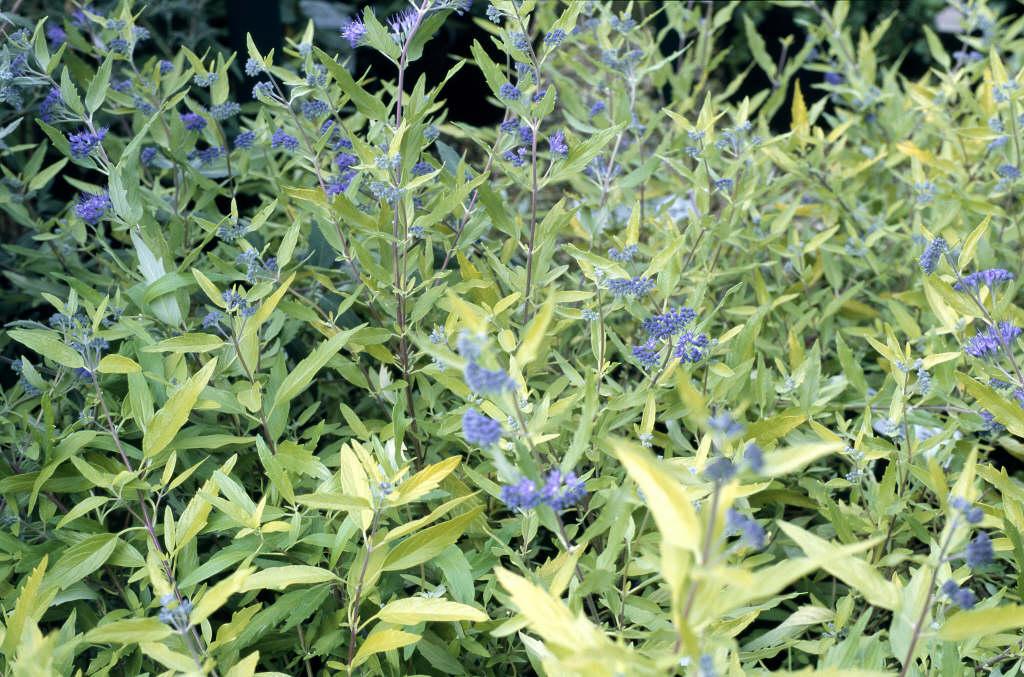 bluebeard 'Worcester Gold'