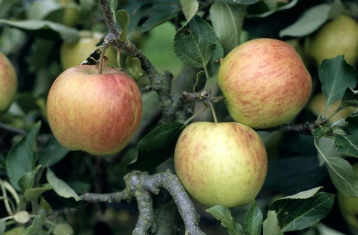 apple 'Falstaff'