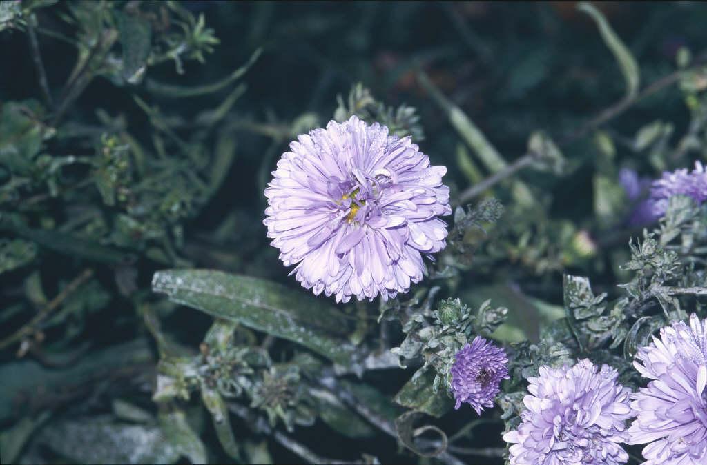 Michaelmas daisy 'Marie Ballard'