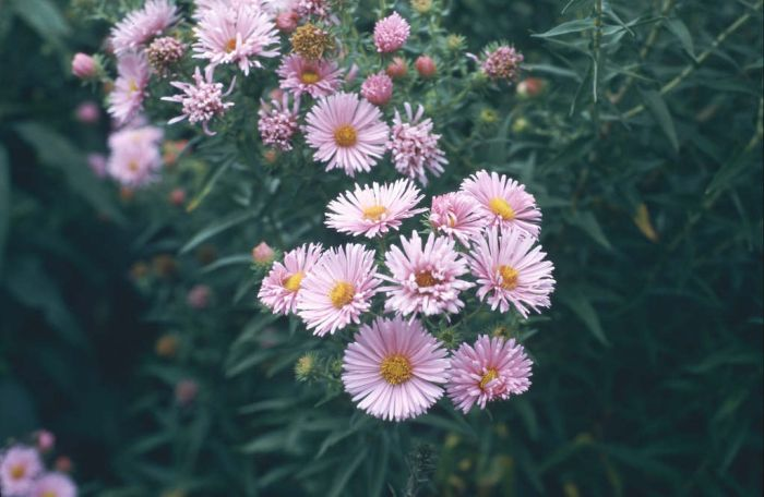 New England aster 'Harrington's Pink'