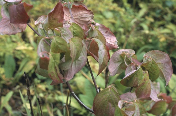 eastern flowering dogwood 'Cherokee Chief'