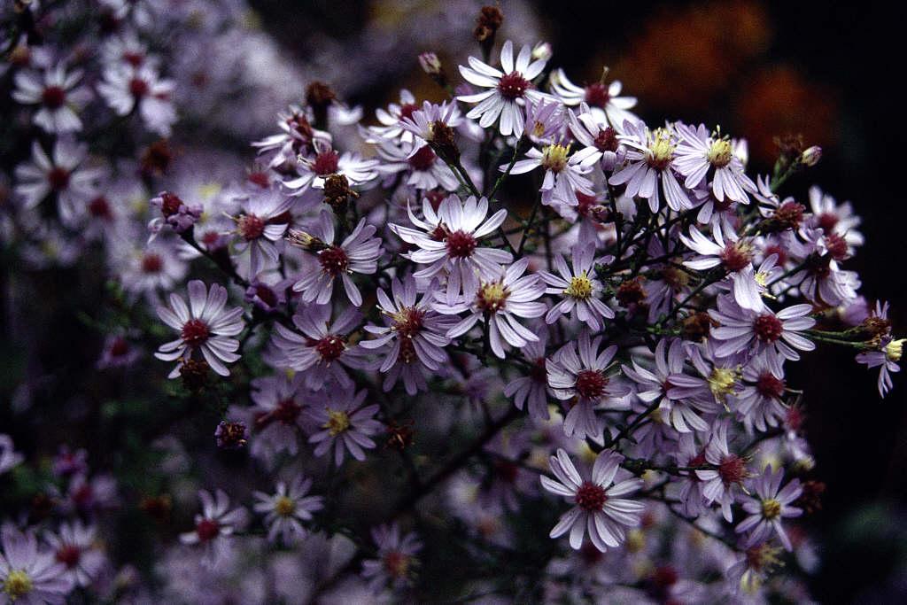 blue wood 'Sweet Lavender'