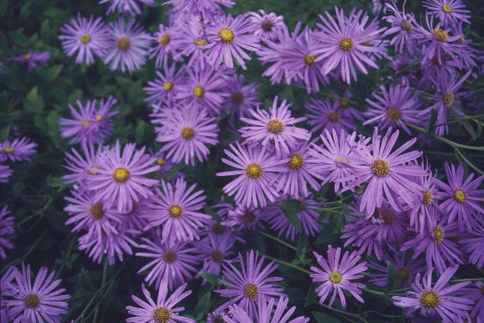 aster 'M&#246
