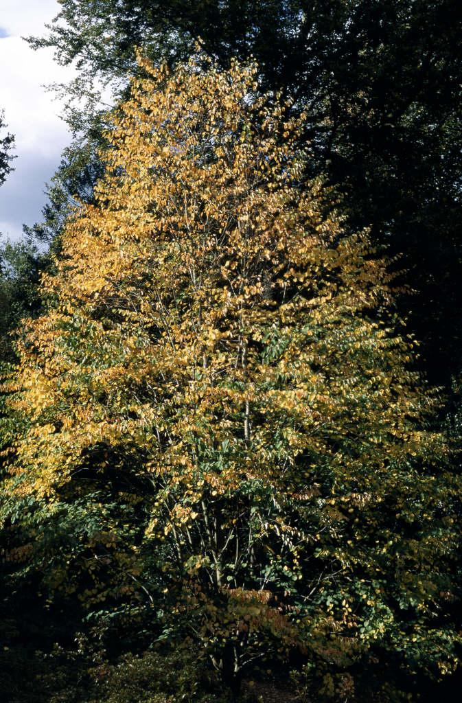 Cercidiphyllum japonicum katsura treerhs gardening katsura tree mightylinksfo