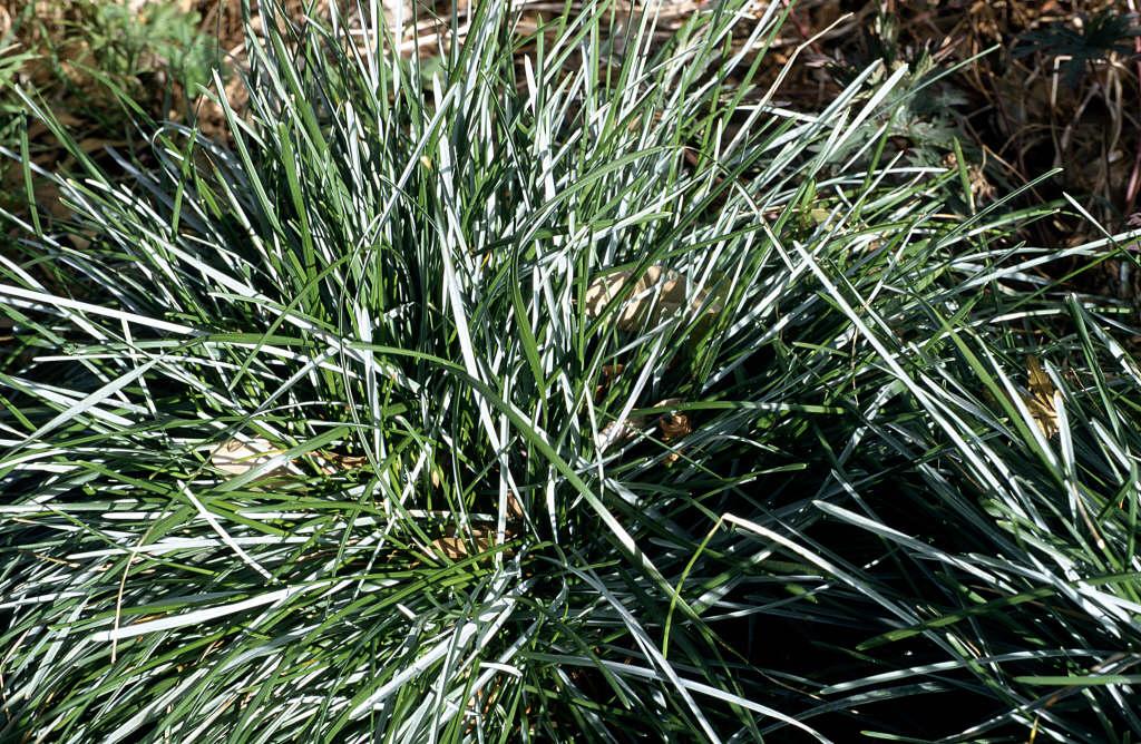 blue moor-grass