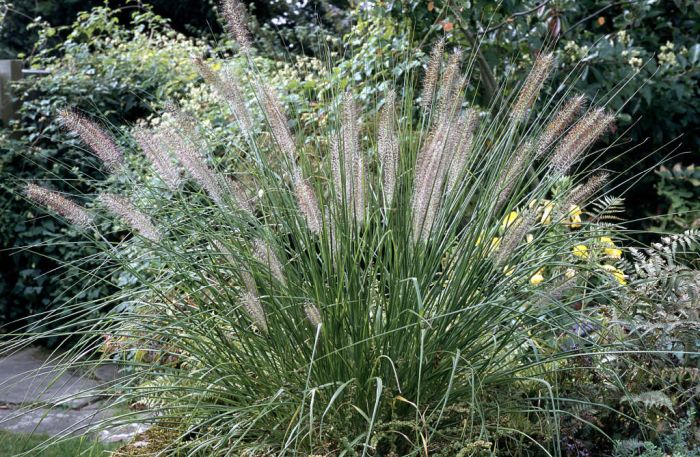 pennisetum alopecuroides 39 hameln 39 chinese fountain grass. Black Bedroom Furniture Sets. Home Design Ideas