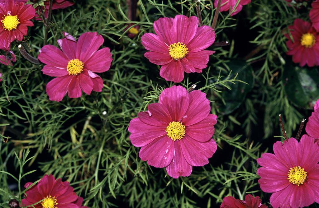 Rhs advice tips on garden indoor plants plant finder cosmos bipinnatus sonata series mightylinksfo