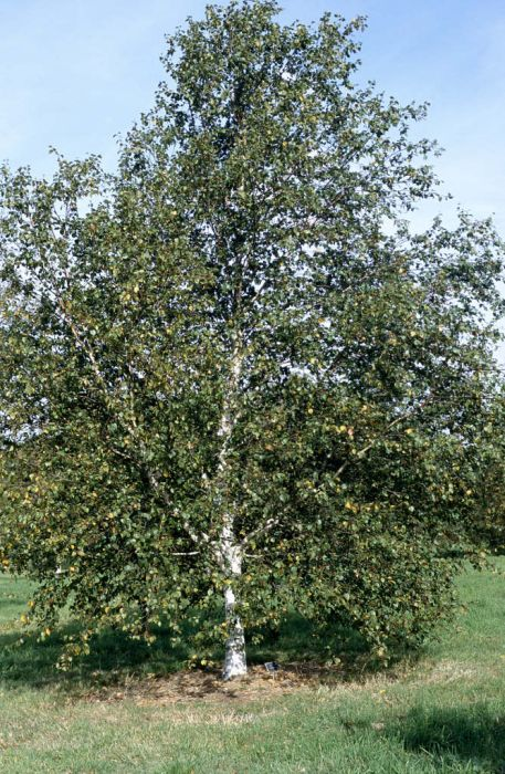 common white birch