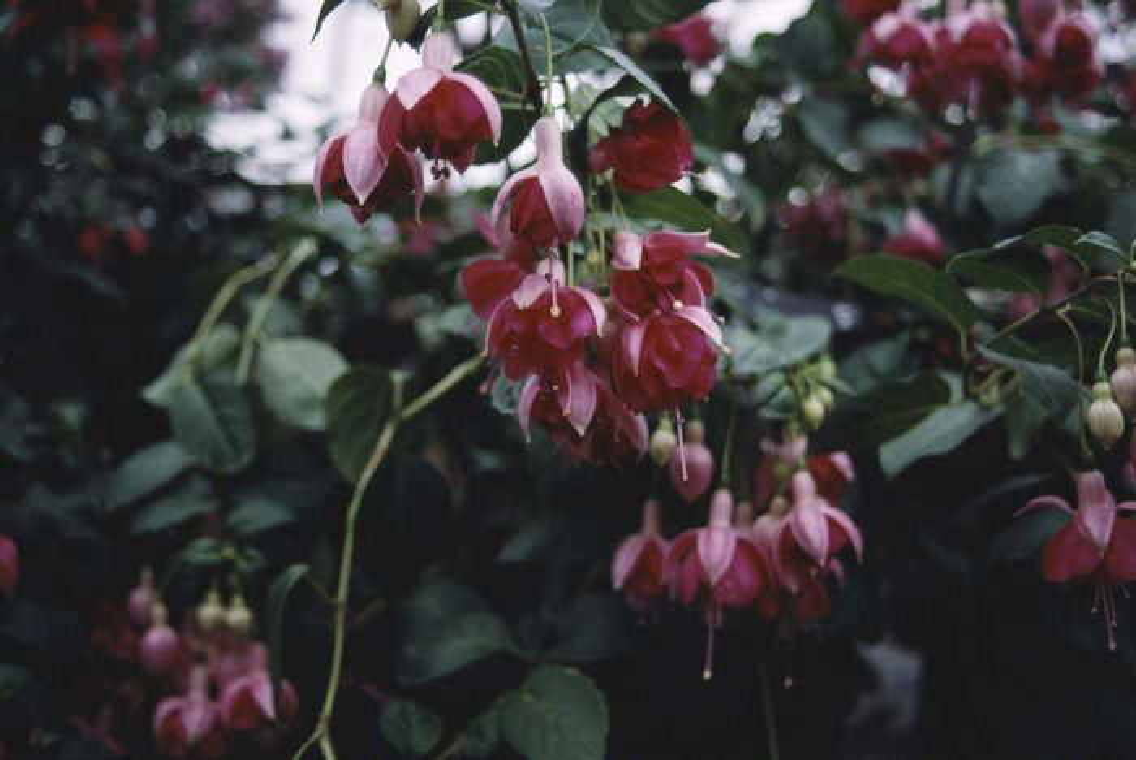 fuchsia 'Garden News'