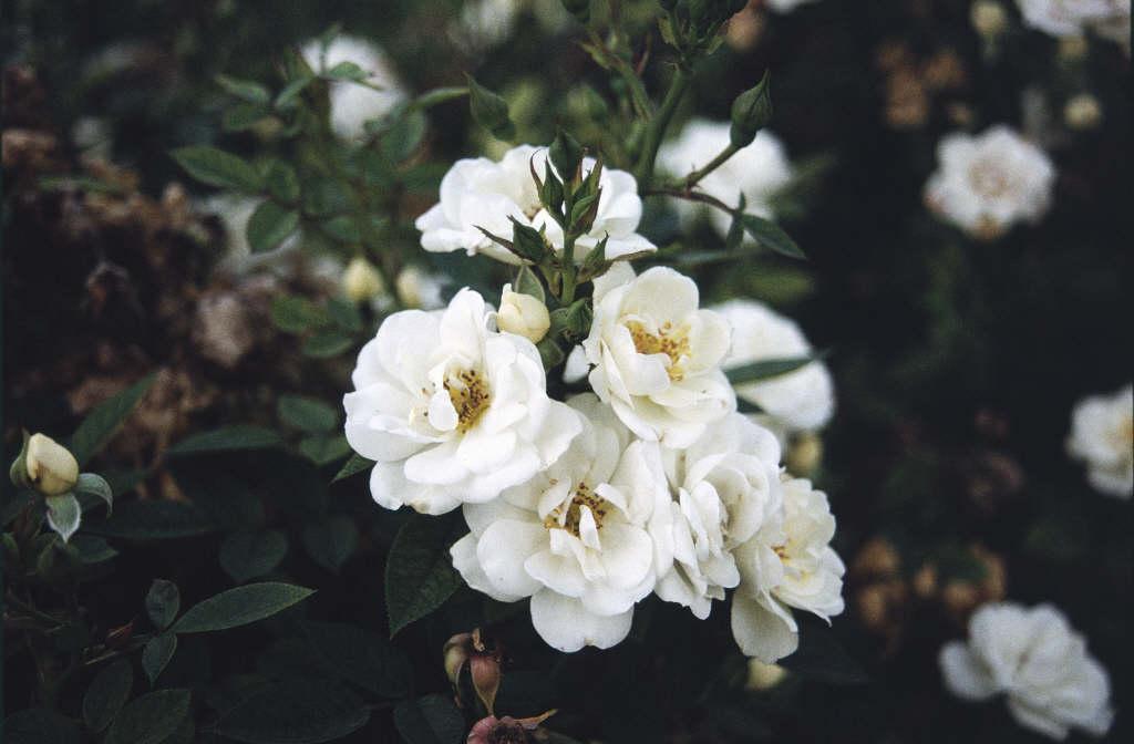 rose [Kent]