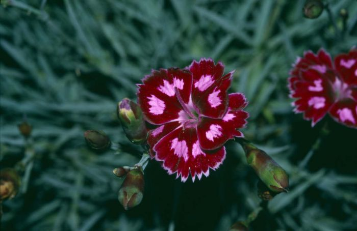 <i>Dianthus</i> 'Night Star' (p)