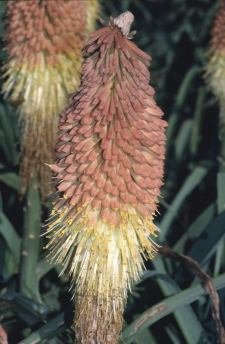 caulescent red-hot poker