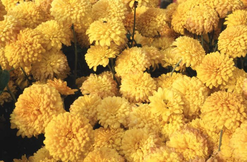 chrysanthemum 'Myss Madi'