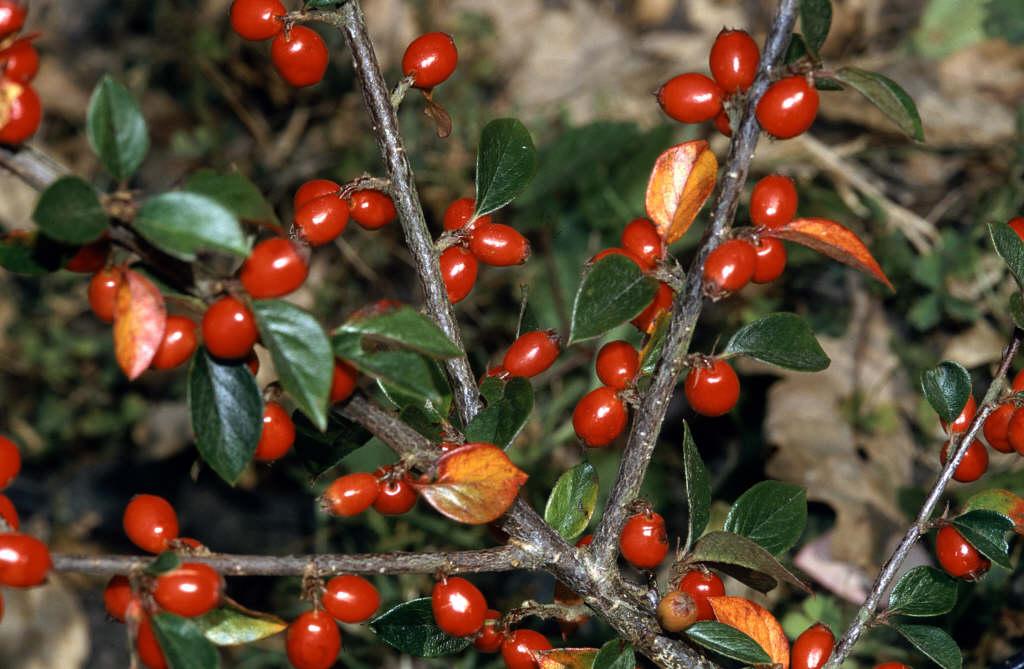 Himalyan cotoneaster