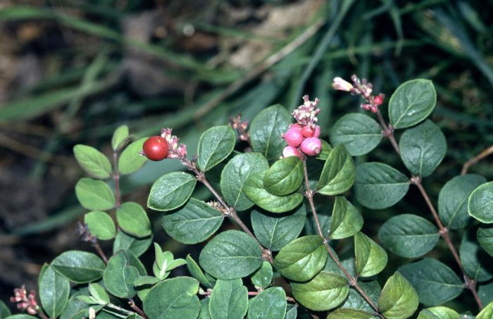 snowberry 'Hancock'