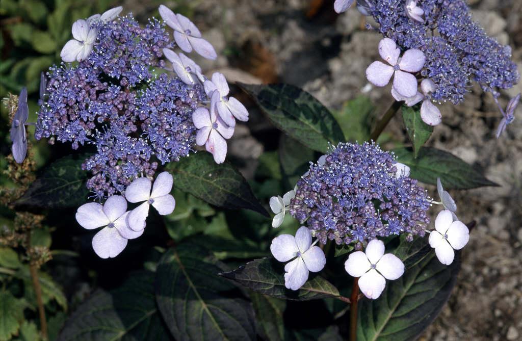 hydrangea 'Bluebird'