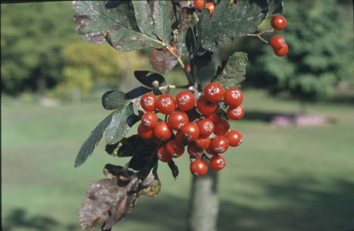 mountain ash 'Gibbsii'