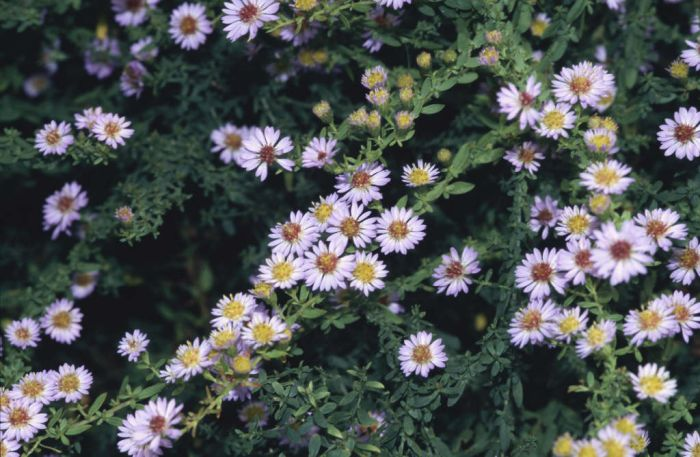 aster 'Blue Star'