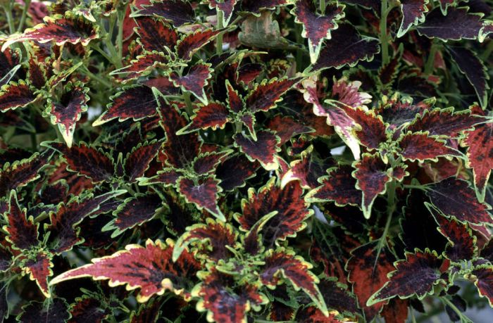 coleus 'Royal Scot'