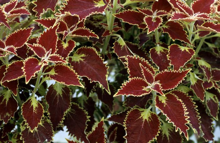 coleus 'Glory of Luxembourg'