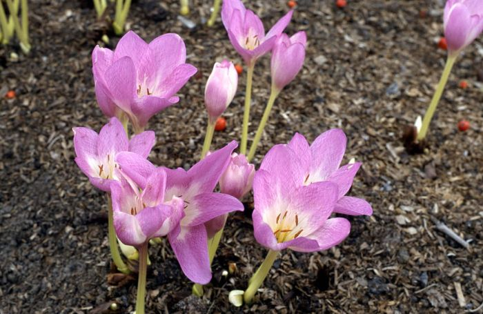 meadow saffron 'Rosy Dawn'