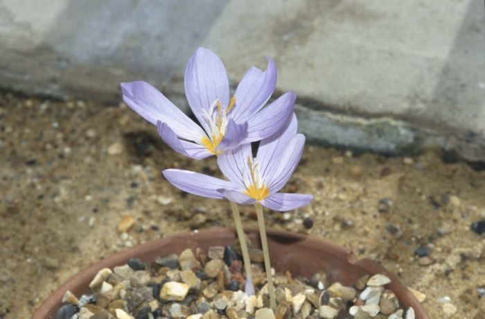 Mount Athos crocus