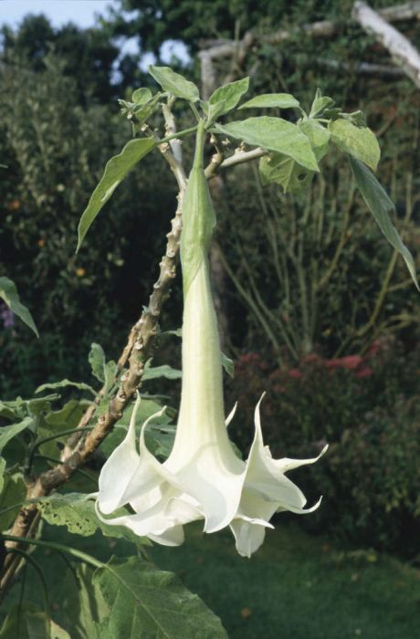angel's trumpet 'Knightii'