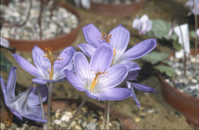 large autumn crocus