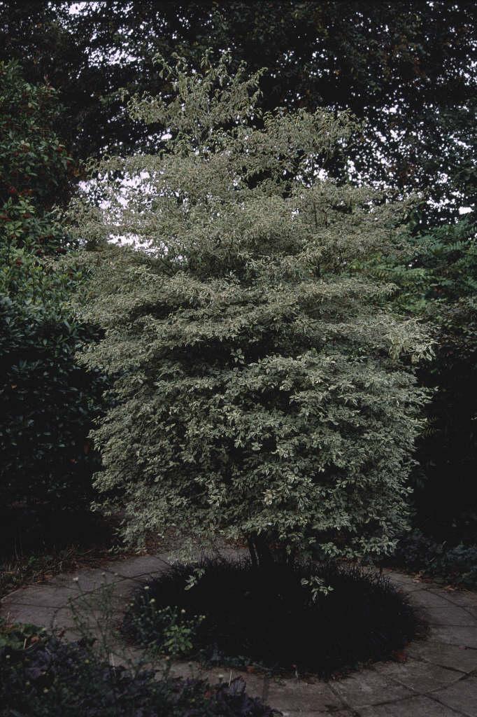 silver pagoda dogwood