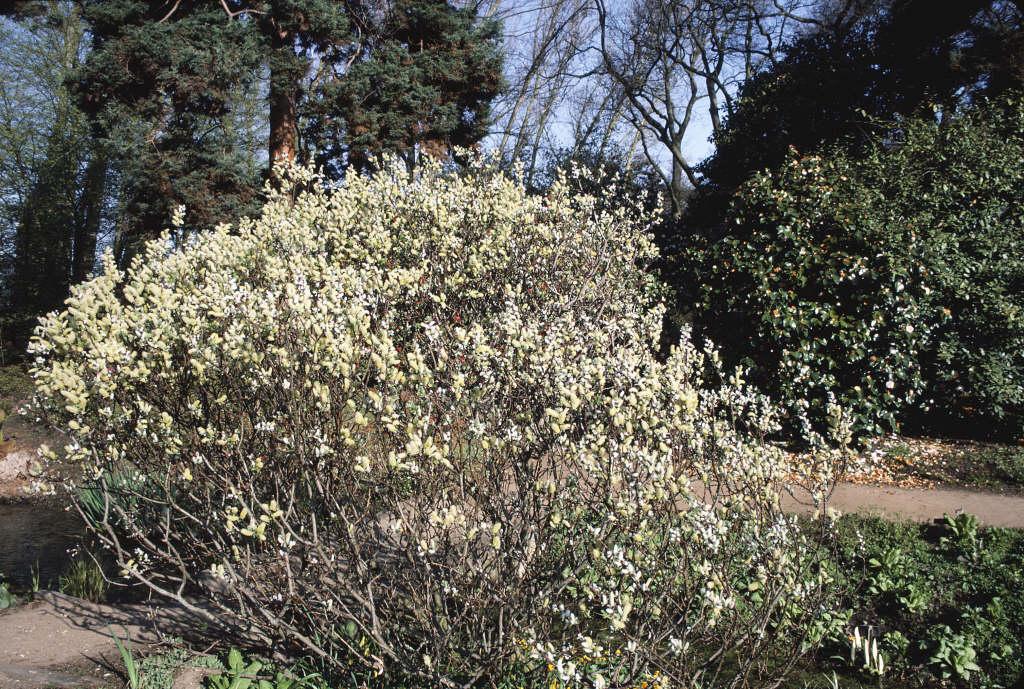 halberd willow 'Wehrhahnii'