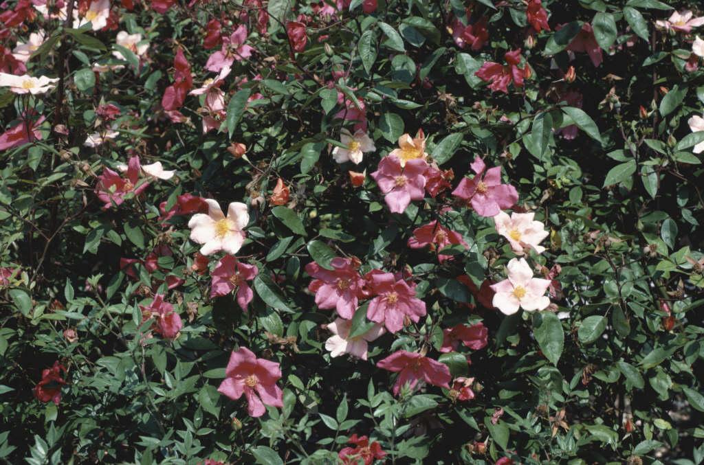 tea rose 'Mutabilis'