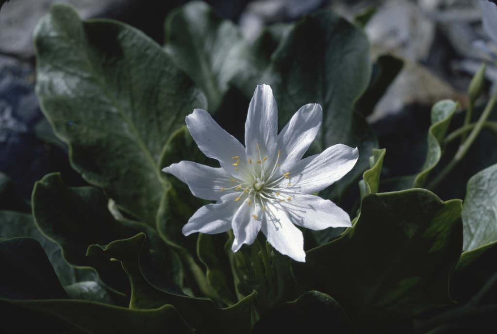lewisia 'Alba'