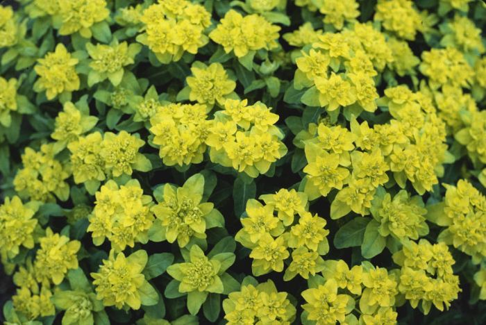 greater cushion spurge