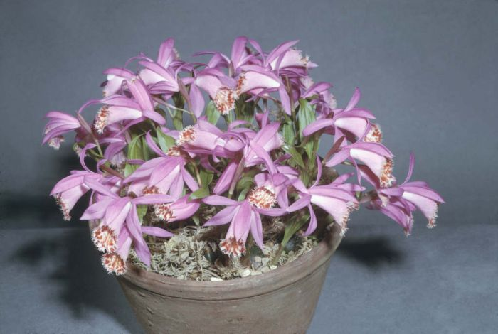hardy Chinese orchid