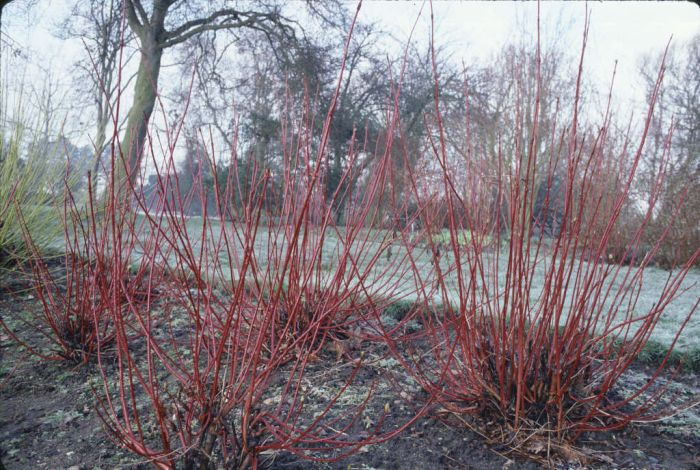 cornus alba 39 sibirica 39 siberian dogwood rhs gardening. Black Bedroom Furniture Sets. Home Design Ideas
