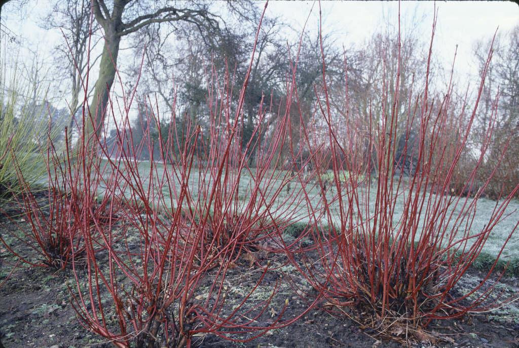 Cornus alba 39 sibirica 39 siberian dogwood rhs gardening - Cornus alba sibirica ...