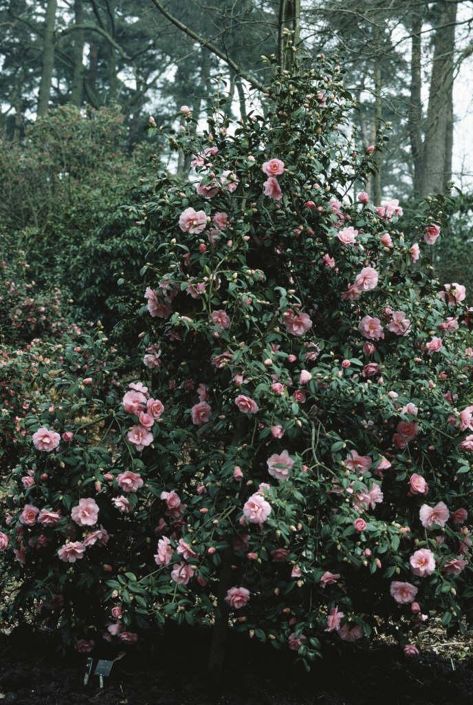 camellia 'J.C. Williams'