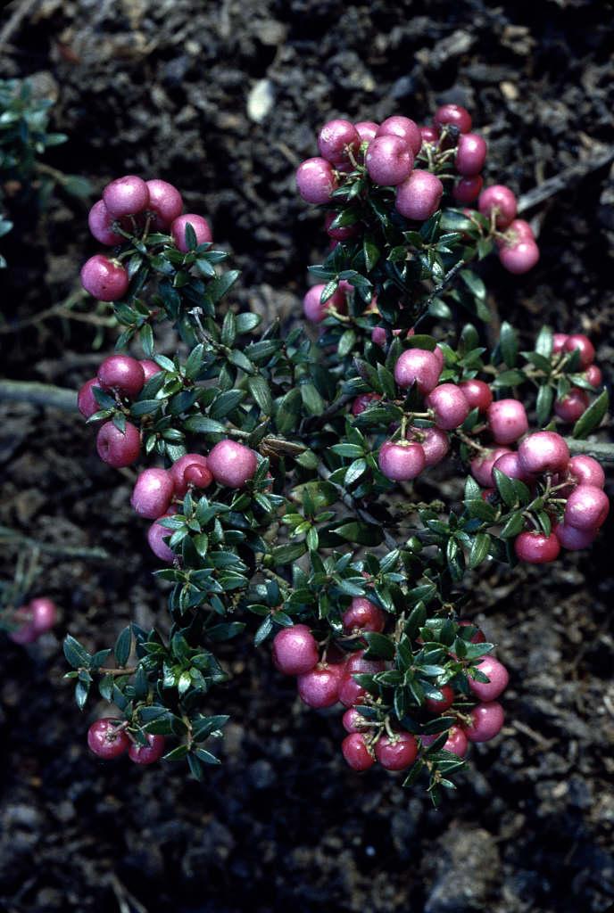 wintergreen 'Crimsonia'